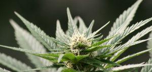 medyczna-marihuana-medycyna-lekarstwo-nasiona-marihuany-uprawa-marihuany-zielona-roslina-marihuany-z-nasion-marihuany-nasiona-0092