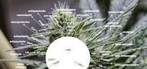 palenie-nasiona-marihuany-marihuana-nasiona-uprawa-marihuana-cbd-thc-fakty-o-thc-fakty-ocbd-co-jest-prawda-o-marihuanie