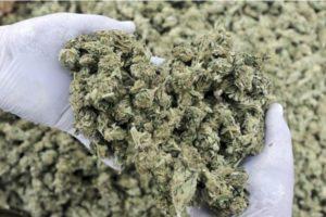 Cannabis to roślina pełna antyoksydantów, CannApteka.pl