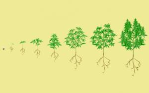 Najłatwiejszy sposób na uprawę marihuany, CannApteka.pl