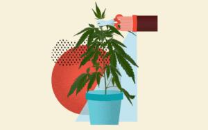 Czynności ułatwiające przycinanie cannabis, CannApteka.pl