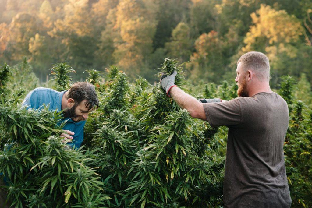 Dostęp do rekreacyjnej marihuany w Michigan, CannApteka.pl