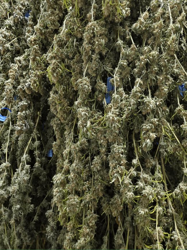 Czy Azot Dobrze Konserwuje Cannabis?, CannApteka.pl