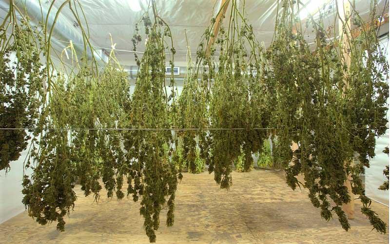 Używanie Marihuany Prowadzi do Zmniejszenia Symptomów PTSD, CannApteka.pl