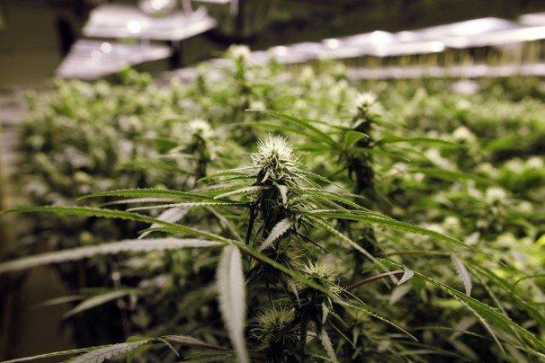 Odmiany Marihuany o Wysokiej Zawartości THC, CannApteka.pl